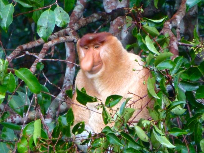 probascis monkey
